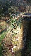 Fungus on a stump